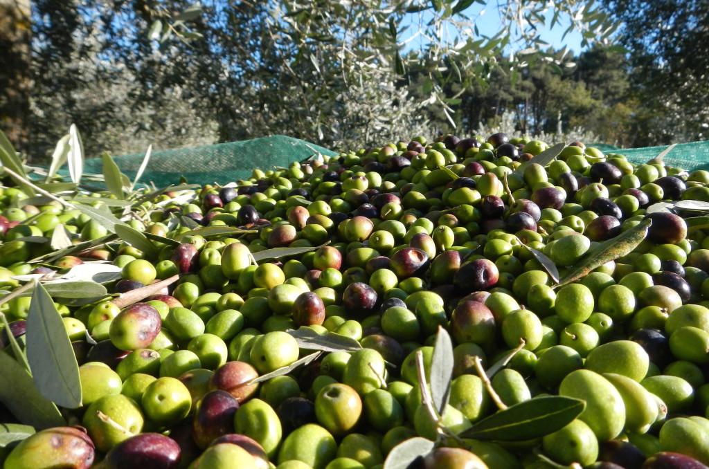 Volano-i-prezzi-dell-olio-di-oliva-Coldiretti-I-più-alti-degli-ultimi-10-anni-1024x768